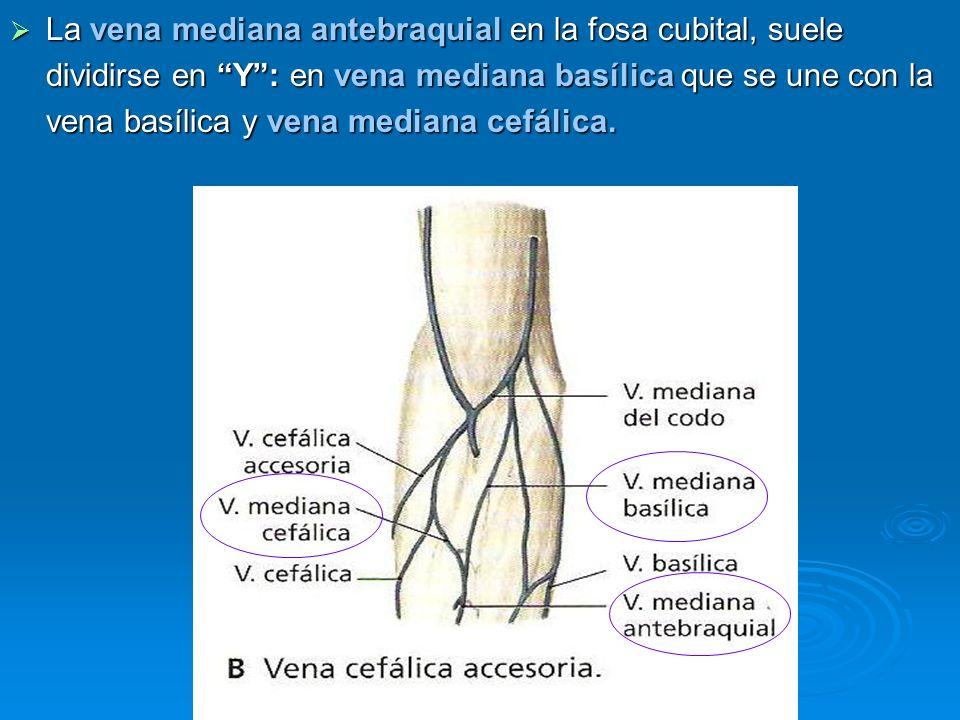 La vena mediana antebraquial en la fosa cubital, suele dividirse en Y: en vena mediana basílica que se une con la vena basílica y vena mediana cefálic