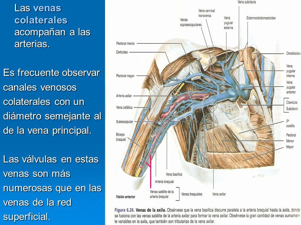 Las venas colaterales acompañan a las arterias. Es frecuente observar canales venosos colaterales con un diámetro semejante al de la vena principal. L