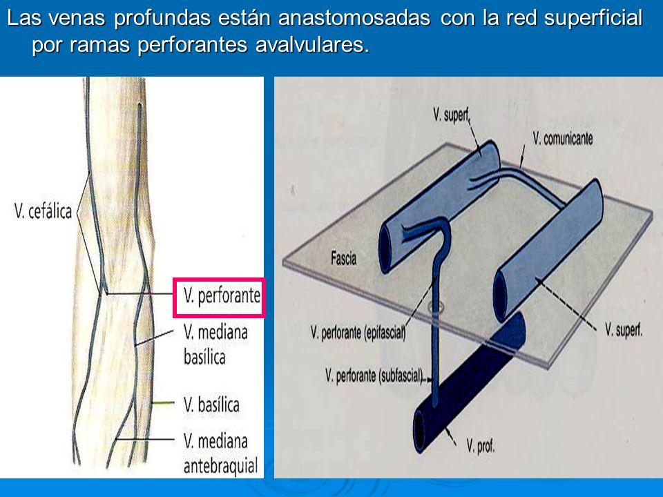 En el triángulo deltopectoral ( situado entre los orígenes de los músculos pectoral mayor y el deltoides en la clavícula ) la vena cefálica se profundiza perfora la fascia clavipectoral y termina en la vena axilar inmediatamente por debajo de la clavícula En el triángulo deltopectoral ( situado entre los orígenes de los músculos pectoral mayor y el deltoides en la clavícula ) la vena cefálica se profundiza perfora la fascia clavipectoral y termina en la vena axilar inmediatamente por debajo de la clavícula