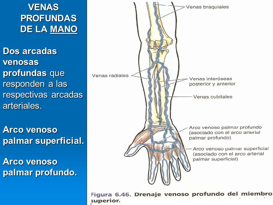 VENAS PROFUNDAS DE LA MANO Dos arcadas venosas profundas que responden a las respectivas arcadas arteriales. Arco venoso palmar superficial. Arco veno