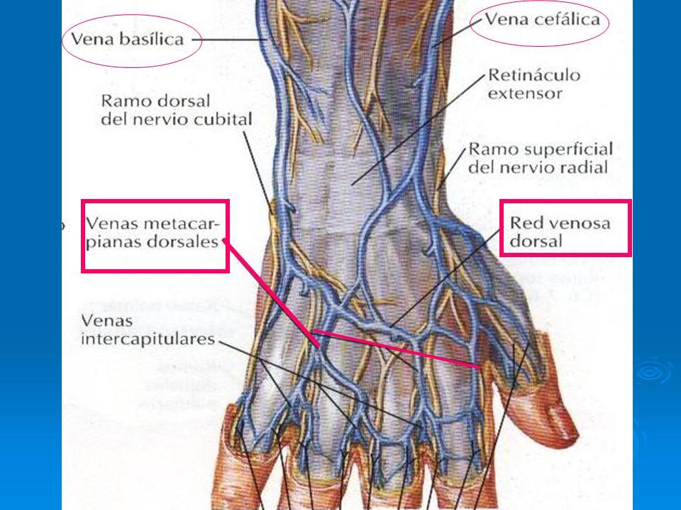 Venas tributarias de la vena cefálica: - venas antebraquiales - Venas braquiales - venas toracoacromiales.