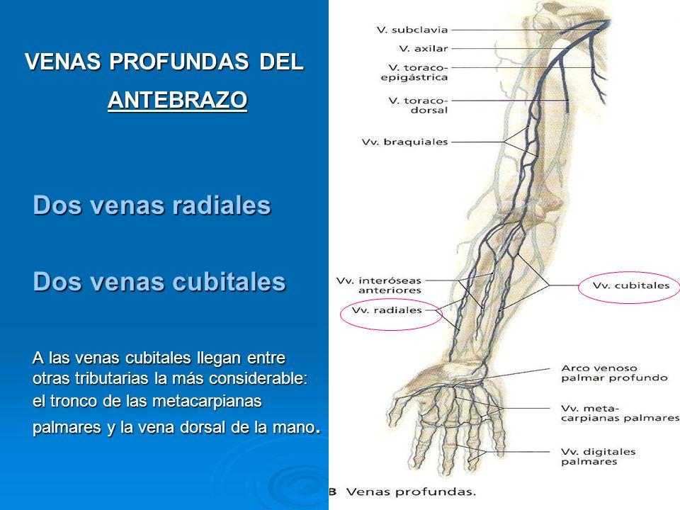 VENAS PROFUNDAS DEL BRAZO venas braquiales (lateral y medial) Unión de las dos venas radiales y las dos venas cubitales, dan origen a 2 venas braquiales (lateral y medial) o a veces a una braquial.