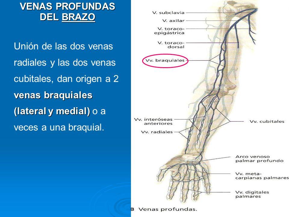 VENAS PROFUNDAS DEL BRAZO venas braquiales (lateral y medial) Unión de las dos venas radiales y las dos venas cubitales, dan origen a 2 venas braquial