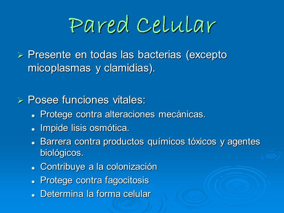 Pared Celular Presente en todas las bacterias (excepto micoplasmas y clamidias). Presente en todas las bacterias (excepto micoplasmas y clamidias). Po