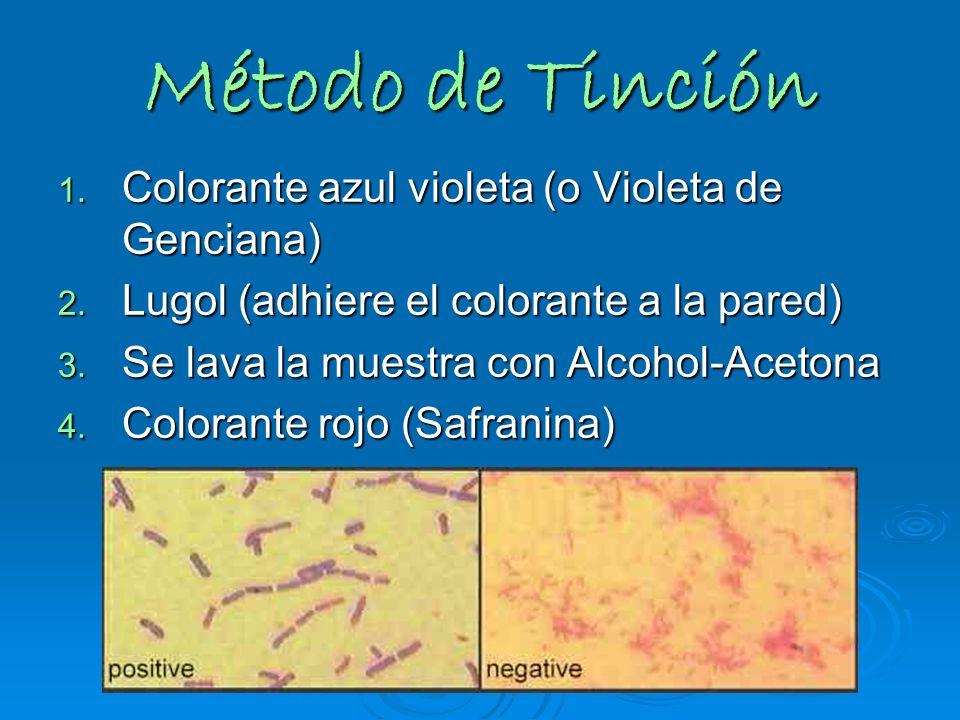 Método de Tinción 1. Colorante azul violeta (o Violeta de Genciana) 2. Lugol (adhiere el colorante a la pared) 3. Se lava la muestra con Alcohol-Aceto