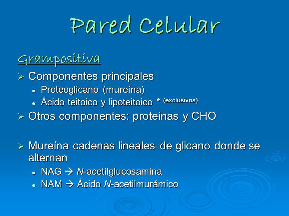 Pared Celular Grampositiva Componentes principales Componentes principales Proteoglicano (mureína) Proteoglicano (mureína) Ácido teitoico y lipoteitoi