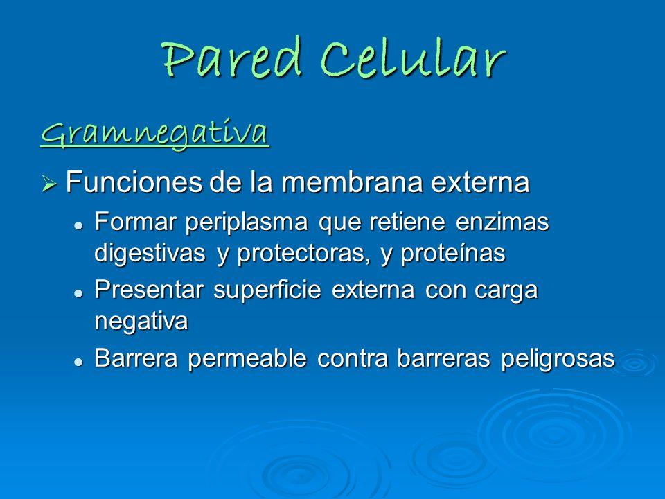 Pared Celular Gramnegativa Funciones de la membrana externa Funciones de la membrana externa Formar periplasma que retiene enzimas digestivas y protec