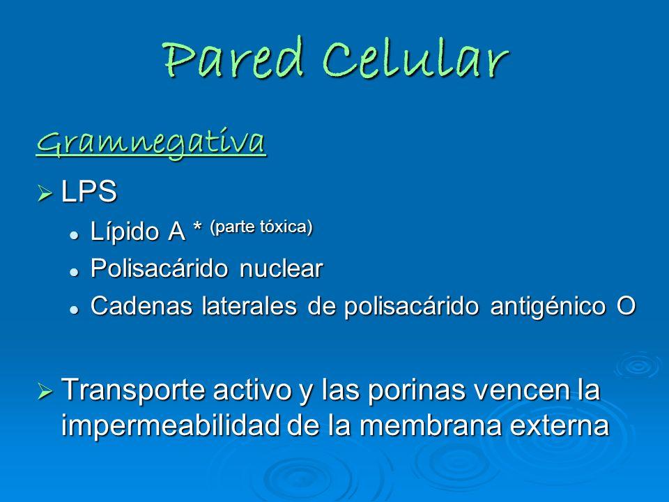 Pared Celular Gramnegativa LPS LPS Lípido A * (parte tóxica) Lípido A * (parte tóxica) Polisacárido nuclear Polisacárido nuclear Cadenas laterales de