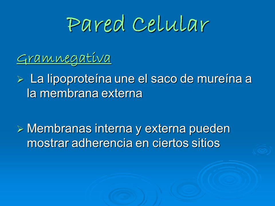 Pared Celular Gramnegativa La lipoproteína une el saco de mureína a la membrana externa La lipoproteína une el saco de mureína a la membrana externa M