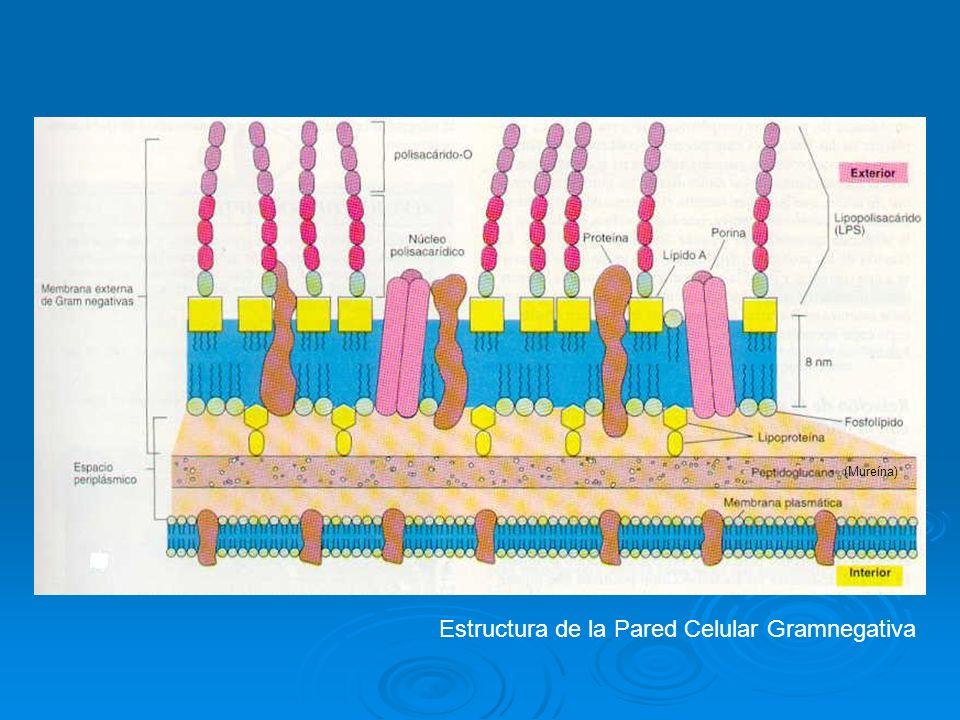 Estructura de la Pared Celular Gramnegativa (Mureína)