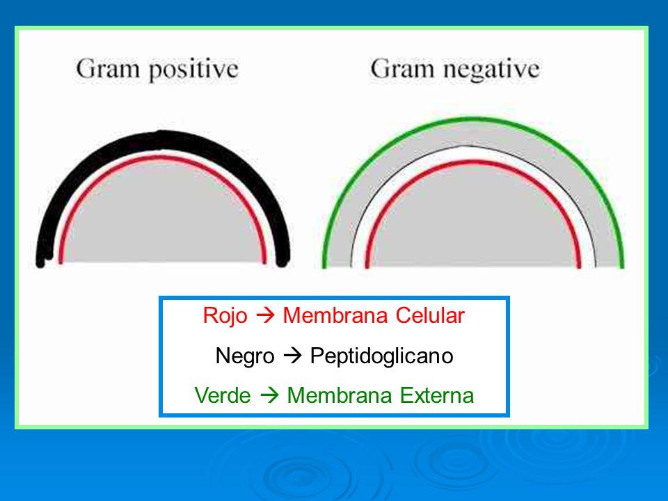 Rojo Membrana Celular Negro Peptidoglicano Verde Membrana Externa