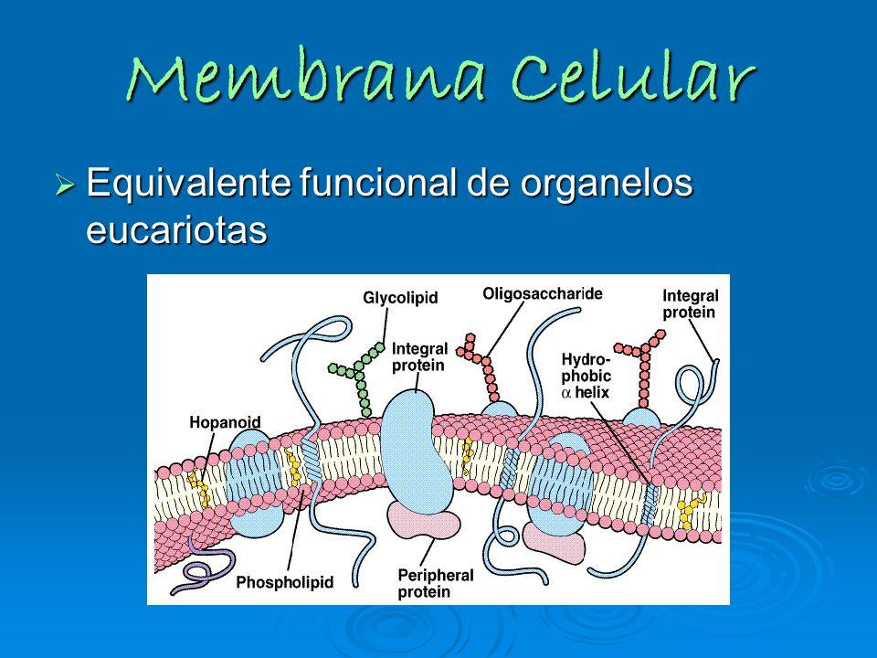 Membrana Celular Equivalente funcional de organelos eucariotas Equivalente funcional de organelos eucariotas