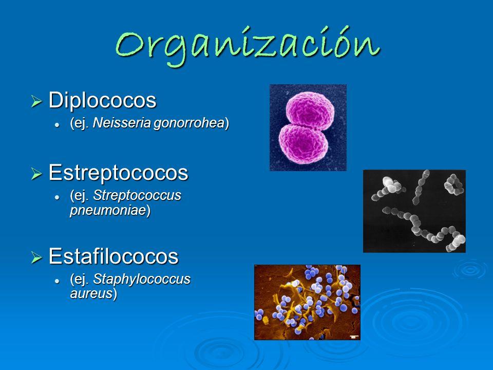 Organización Diplococos Diplococos (ej. Neisseria gonorrohea) (ej. Neisseria gonorrohea) Estreptococos Estreptococos (ej. Streptococcus pneumoniae) (e