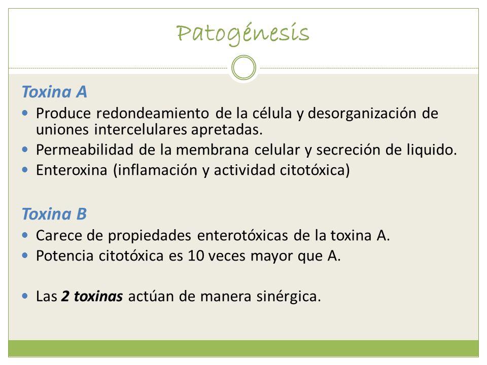 Patogénesis Toxina A Produce redondeamiento de la célula y desorganización de uniones intercelulares apretadas. Permeabilidad de la membrana celular y