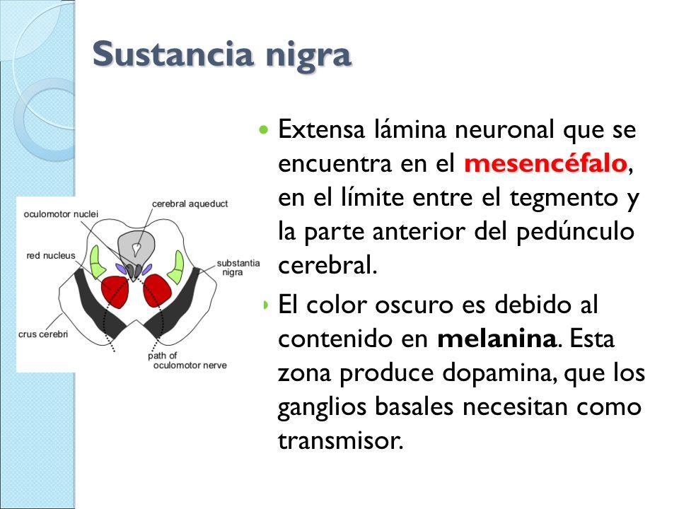 Sustancia nigra mesencéfalo Extensa lámina neuronal que se encuentra en el mesencéfalo, en el límite entre el tegmento y la parte anterior del pedúncu