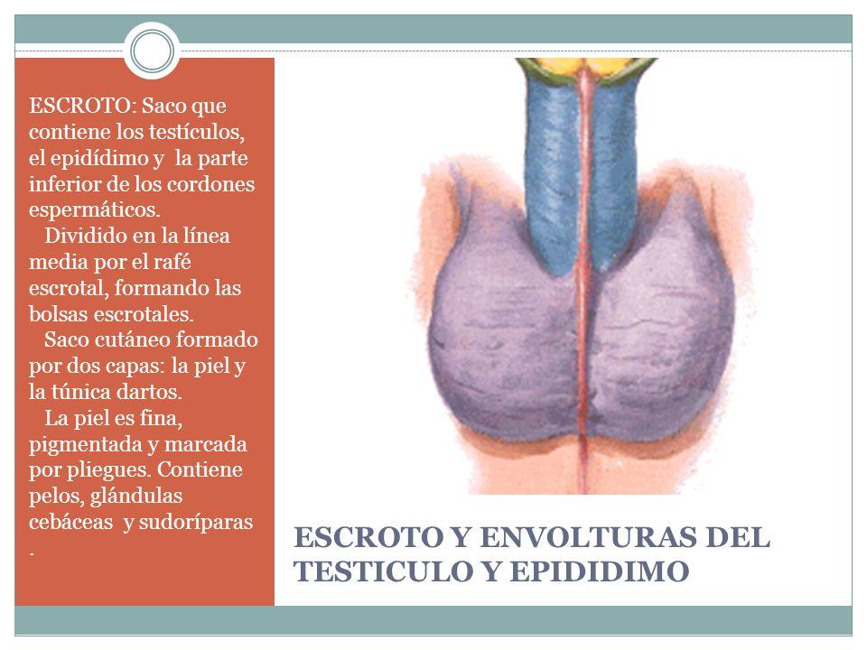 ESCROTO Y ENVOLTURAS DEL TESTICULO Y EPIDIDIMO ESCROTO: Saco que contiene los testículos, el epidídimo y la parte inferior de los cordones espermático