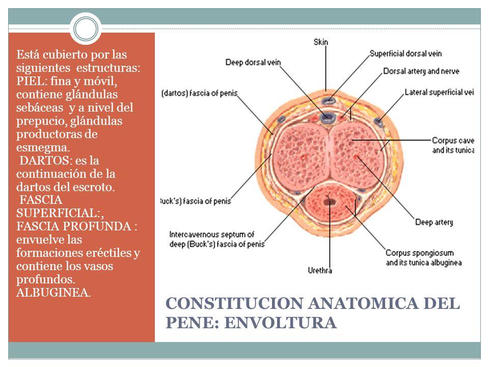 CONSTITUCION ANATOMICA DEL PENE: ENVOLTURA Está cubierto por las siguientes estructuras: PIEL: fina y móvil, contiene glándulas sebáceas y a nivel del