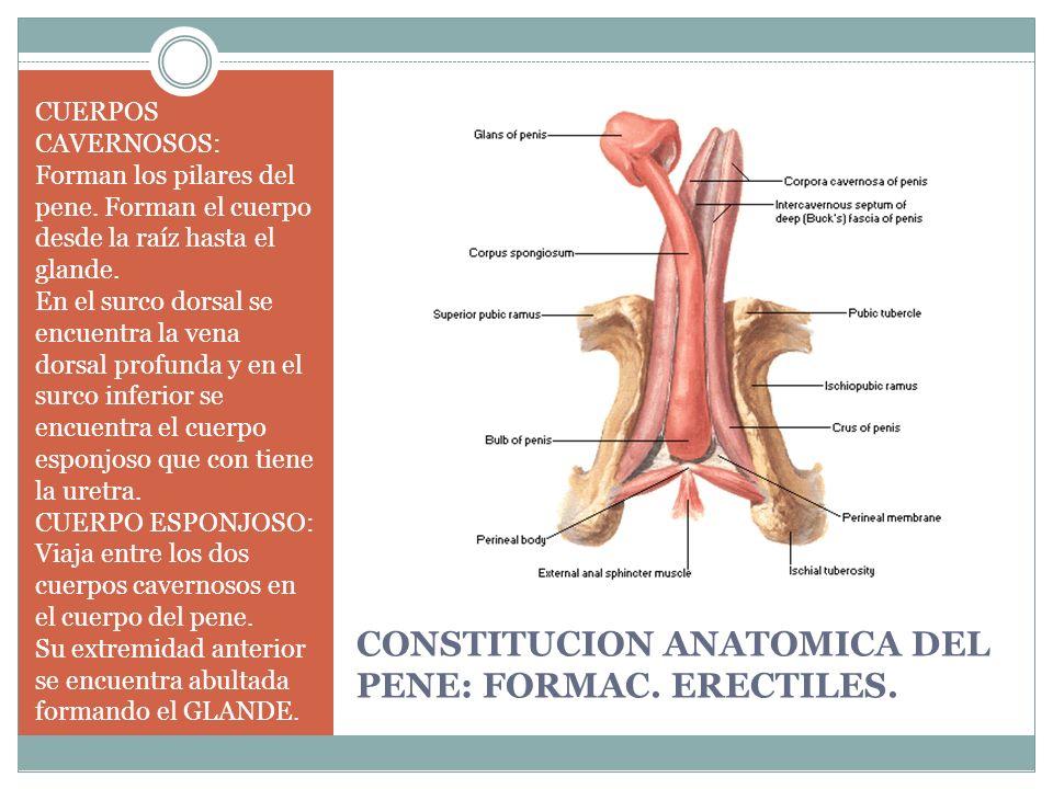 CONSTITUCION ANATOMICA DEL PENE: FORMAC. ERECTILES. CUERPOS CAVERNOSOS: Forman los pilares del pene. Forman el cuerpo desde la raíz hasta el glande. E