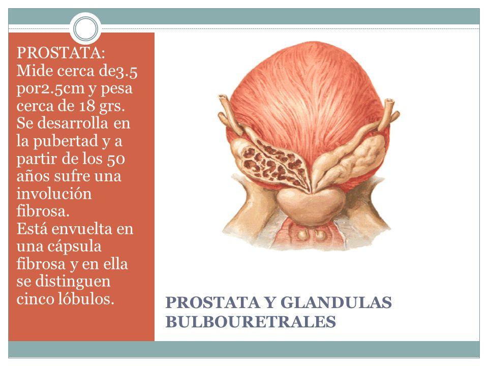 PROSTATA Y GLANDULAS BULBOURETRALES PROSTATA: Mide cerca de3.5 por2.5cm y pesa cerca de 18 grs. Se desarrolla en la pubertad y a partir de los 50 años