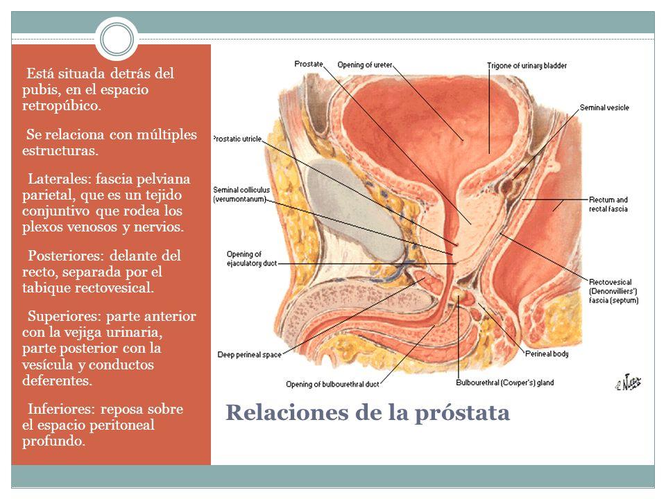 Relaciones de la próstata Está situada detrás del pubis, en el espacio retropúbico. Se relaciona con múltiples estructuras. Laterales: fascia pelviana