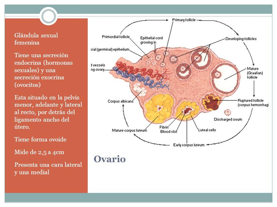 Ovario Glándula sexual femenina Tiene una secreción endocrina (hormonas sexuales) y una secreción exocrina (ovocitos) Esta situado en la pelvis menor,