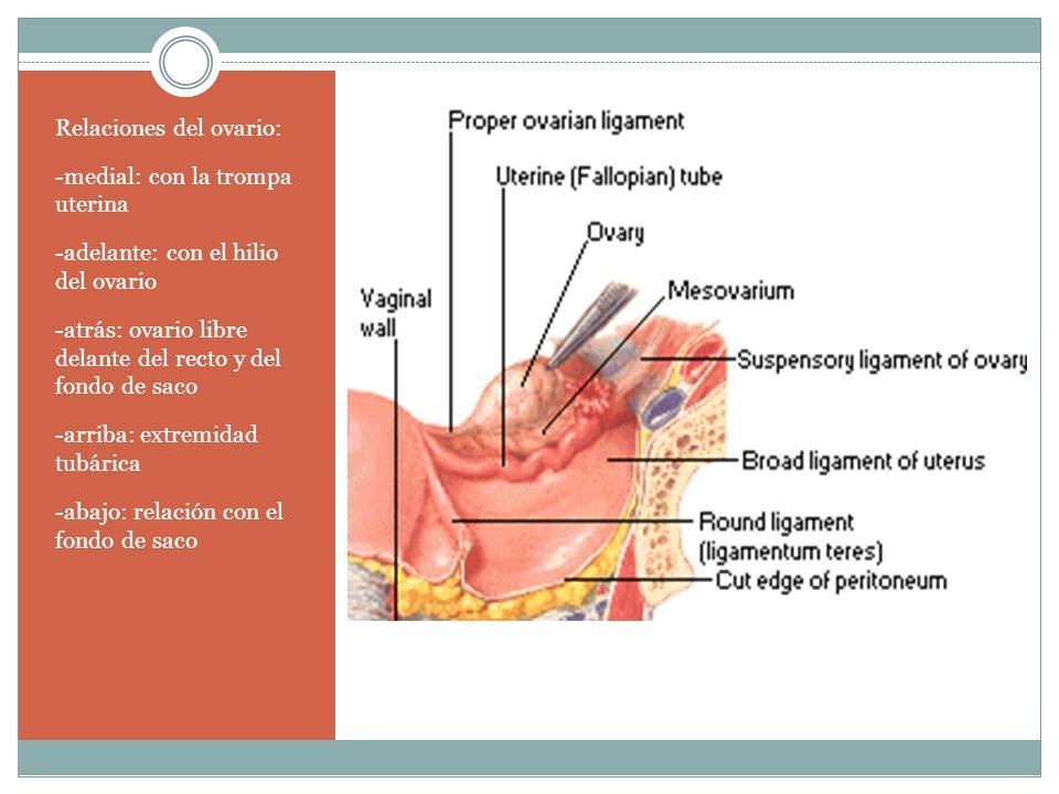 Relaciones del ovario: -medial: con la trompa uterina -adelante: con el hilio del ovario -atrás: ovario libre delante del recto y del fondo de saco -a