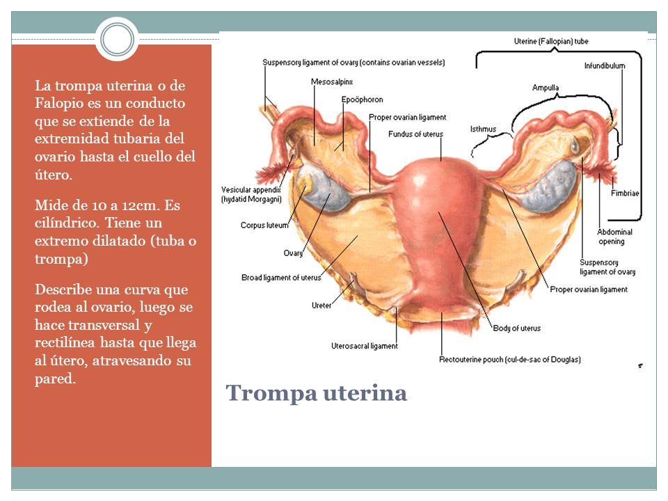 Trompa uterina La trompa uterina o de Falopio es un conducto que se extiende de la extremidad tubaria del ovario hasta el cuello del útero. Mide de 10
