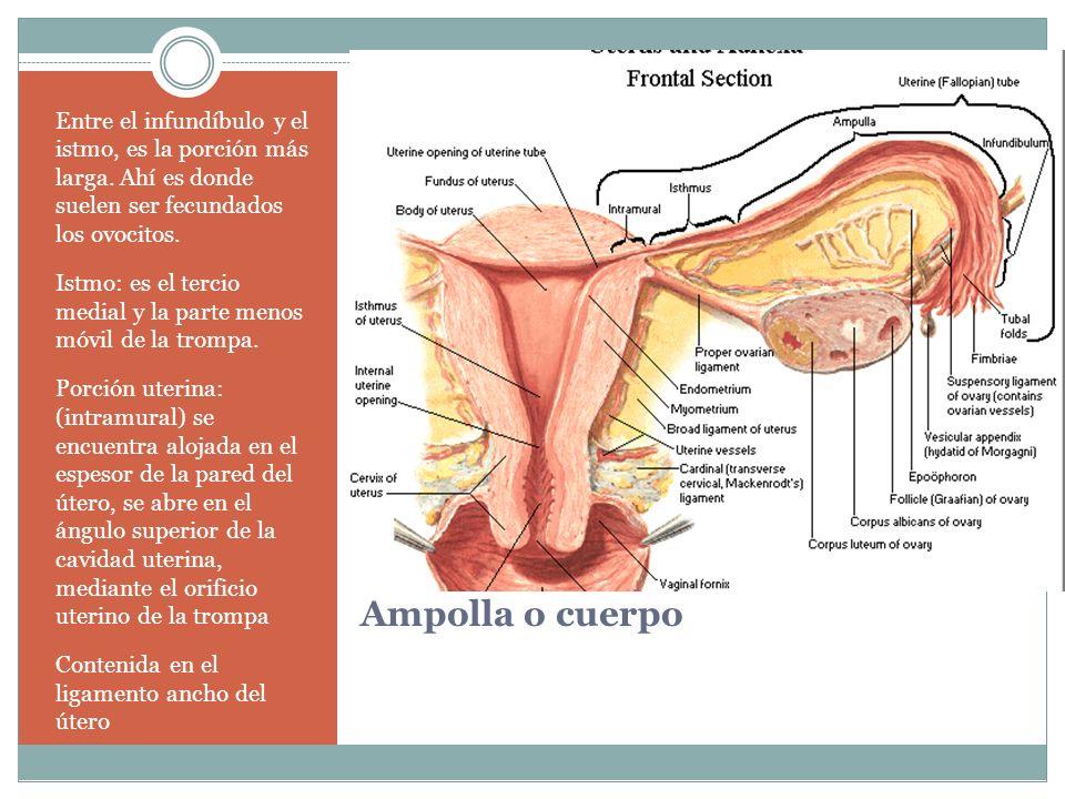 Ampolla o cuerpo Entre el infundíbulo y el istmo, es la porción más larga. Ahí es donde suelen ser fecundados los ovocitos. Istmo: es el tercio medial