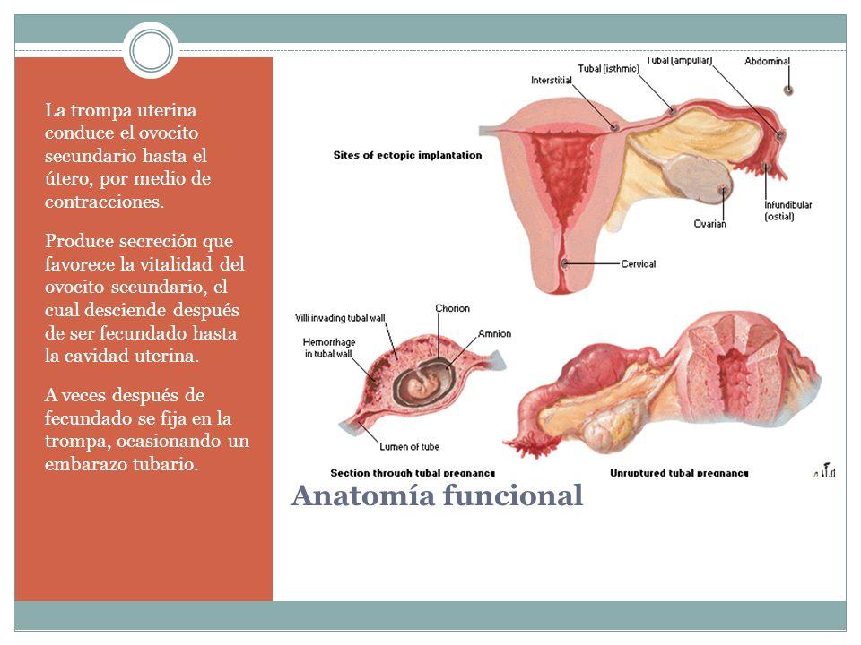 Anatomía funcional La trompa uterina conduce el ovocito secundario hasta el útero, por medio de contracciones. Produce secreción que favorece la vital