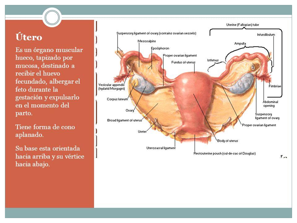 Útero Es un órgano muscular hueco, tapizado por mucosa, destinado a recibir el huevo fecundado, albergar el feto durante la gestación y expulsarlo en