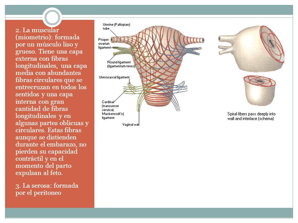 2. La muscular (miometrio): formada por un músculo liso y grueso. Tiene una capa externa con fibras longitudinales, una capa media con abundantes fibr