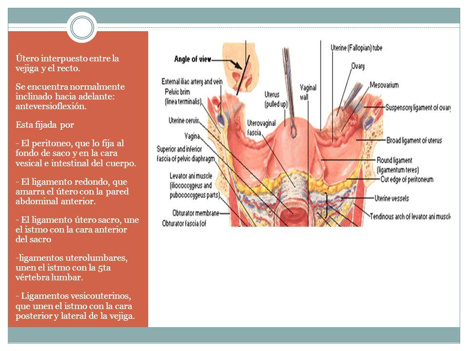Útero interpuesto entre la vejiga y el recto. Se encuentra normalmente inclinado hacia adelante: anteversioflexión. Esta fijada por - El peritoneo, qu