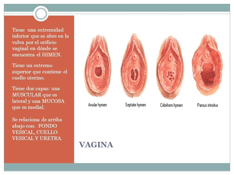 VAGINA Tiene una extremidad inferior que se abre en la vulva por el orificio vaginal en dónde se encuentra el HIMEN. Tiene un extremo superior que con