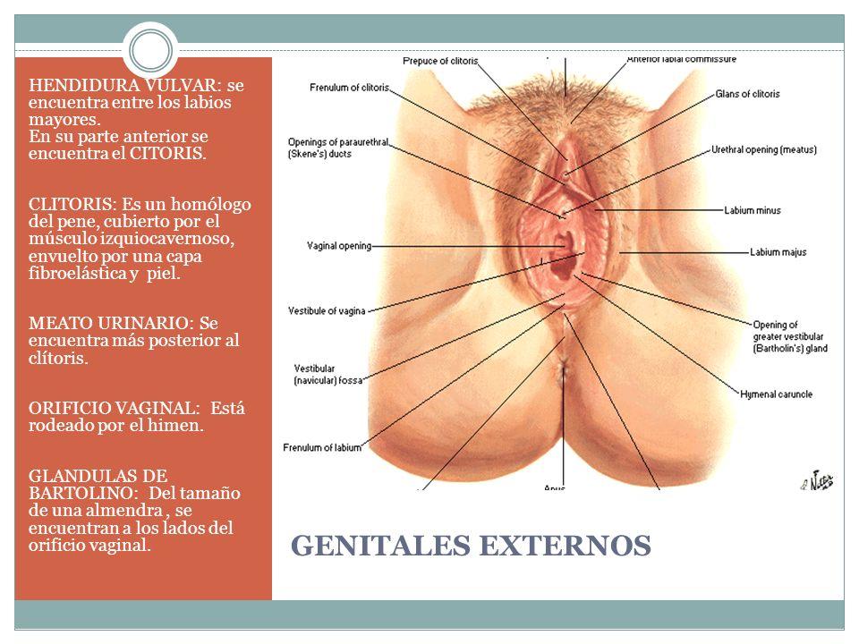 GENITALES EXTERNOS HENDIDURA VULVAR: se encuentra entre los labios mayores. En su parte anterior se encuentra el CITORIS. CLITORIS: Es un homólogo del