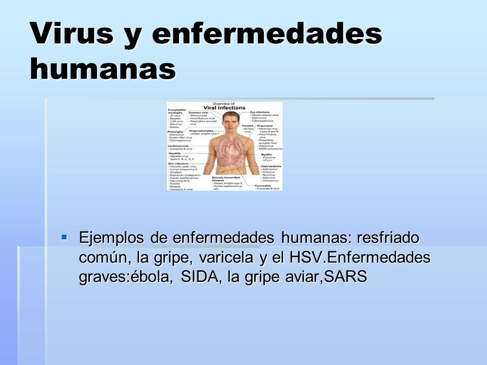 Virus y enfermedades humanas Ejemplos de enfermedades humanas: resfriado común, la gripe, varicela y el HSV.Enfermedades graves:ébola, SIDA, la gripe