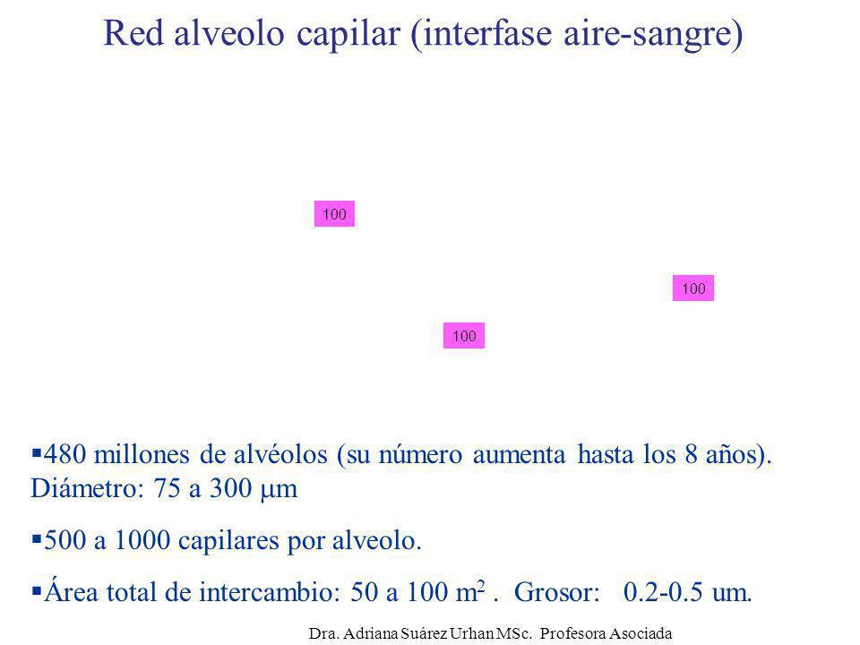 Red alveolo capilar (interfase aire-sangre) 480 millones de alvéolos (su número aumenta hasta los 8 años). Diámetro: 75 a 300 m 500 a 1000 capilares p