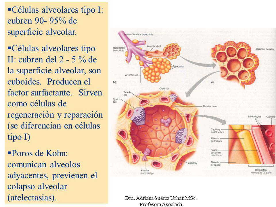 Células alveolares tipo I: cubren 90- 95% de superficie alveolar. Células alveolares tipo II: cubren del 2 - 5 % de la superficie alveolar, son cuboid