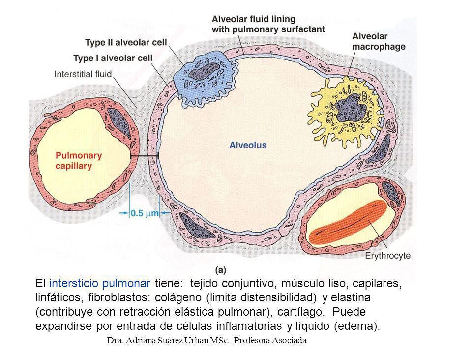 El intersticio pulmonar tiene: tejido conjuntivo, músculo liso, capilares, linfáticos, fibroblastos: colágeno (limita distensibilidad) y elastina (con