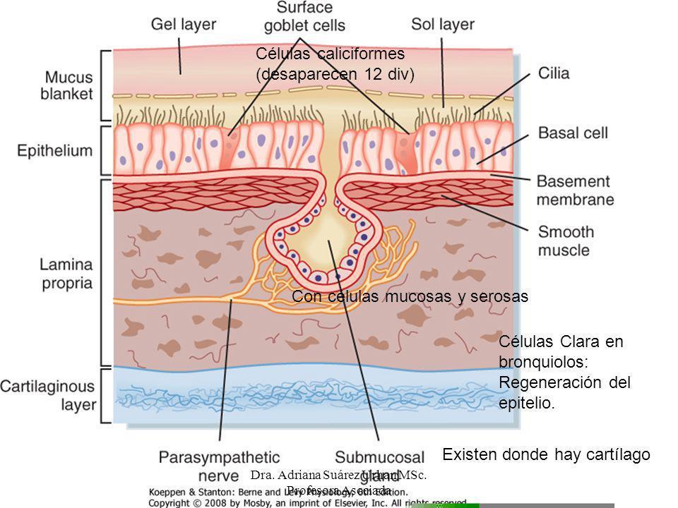 Células caliciformes (desaparecen 12 div) Células Clara en bronquiolos: Regeneración del epitelio. Existen donde hay cartílago Con células mucosas y s