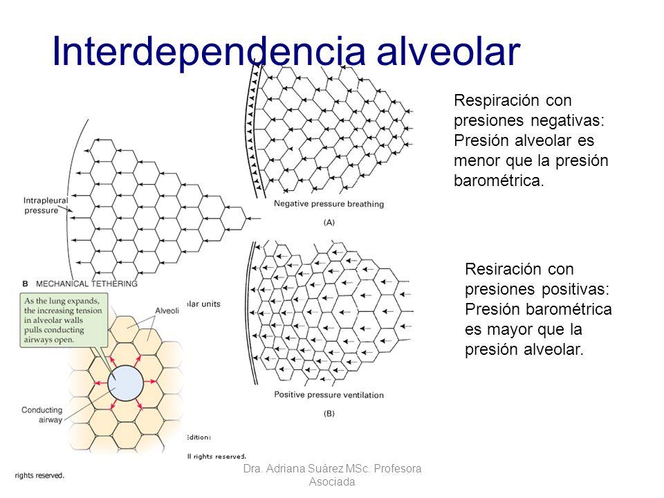 Interdependencia alveolar Dra. Adriana Suárez MSc. Profesora Asociada Respiración con presiones negativas: Presión alveolar es menor que la presión ba