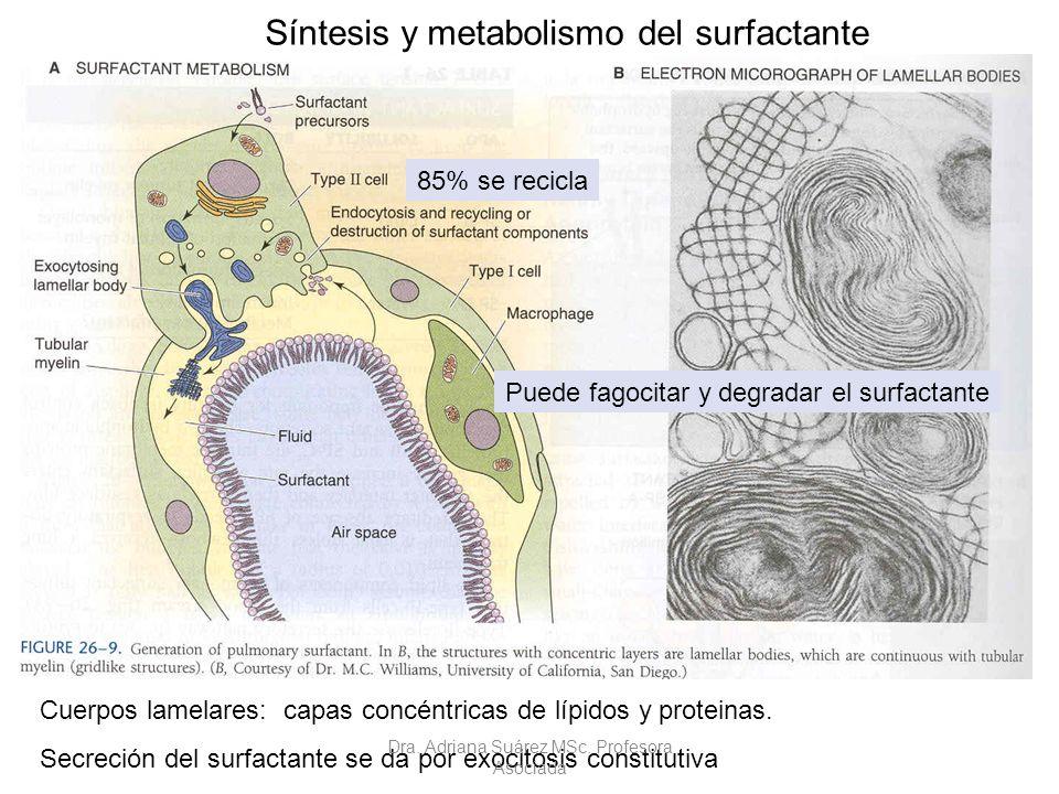 85% se recicla Puede fagocitar y degradar el surfactante Cuerpos lamelares: capas concéntricas de lípidos y proteinas. Secreción del surfactante se da