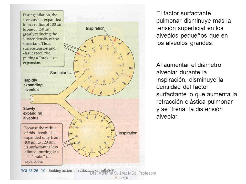 El factor surfactante pulmonar disminuye más la tensión superficial en los alveólos pequeños que en los alveólos grandes. Al aumentar el diámetro alve