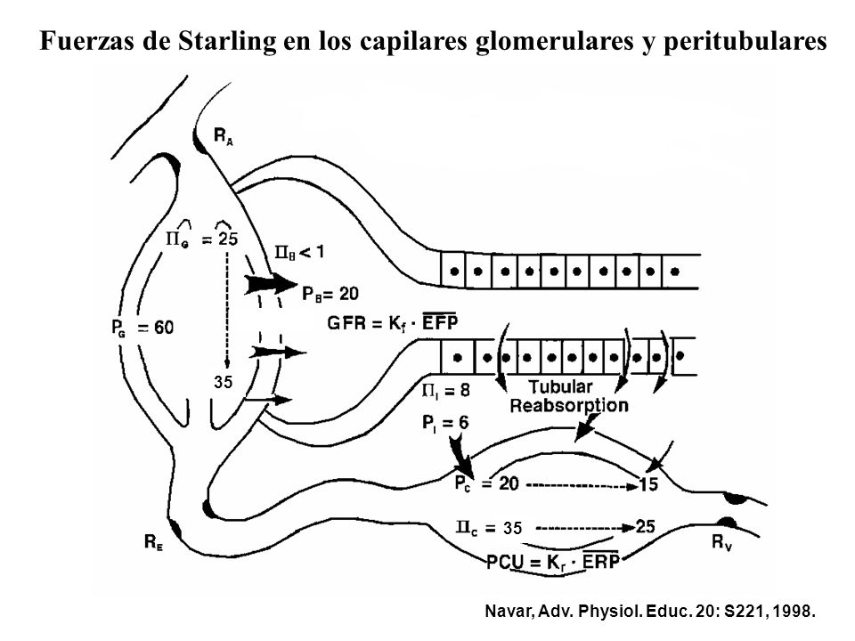 Fuerzas de Starling en los capilares peritubulares PNF = [(PHC - PHI) - (POC - POI)] PNF al inicio del capilar = [(20 - 8)) - (35 - 6)] PNF = -17 mmHg PNF al final del capilar = [(15 - 8)) - (25 - 6)] PNF = -12 mmHg Importancia de las fuerzas de Starling en el Balance Glomerulotubular: el % de agua y solutos reabsorbido en el TP se mantiene k a pesar de en la TFG.