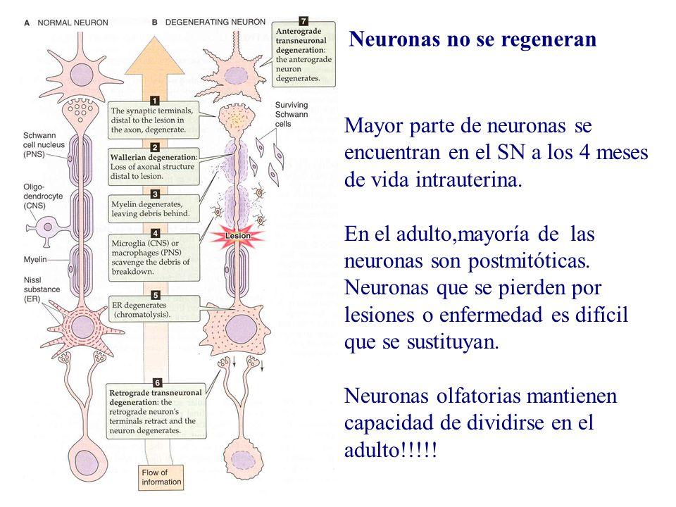 Mayor parte de neuronas se encuentran en el SN a los 4 meses de vida intrauterina. En el adulto,mayoría de las neuronas son postmitóticas. Neuronas qu