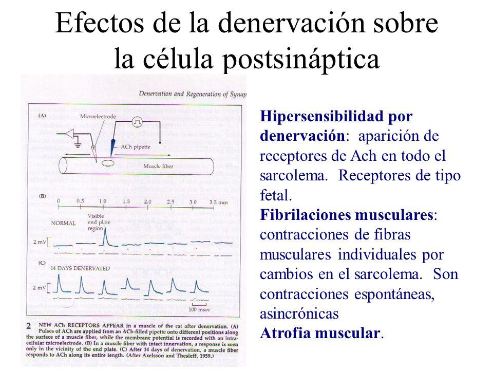 Efectos de la denervación sobre la célula postsináptica Hipersensibilidad por denervación: aparición de receptores de Ach en todo el sarcolema. Recept