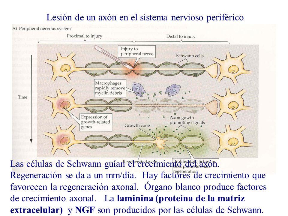 Lesión de un axón en el sistema nervioso periférico Las células de Schwann guían el crecimiento del axón. Regeneración se da a un mm/día. Hay factores