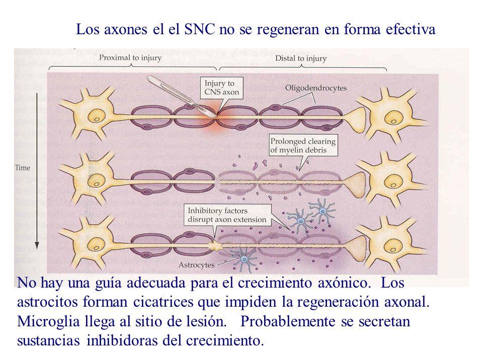 Los axones el el SNC no se regeneran en forma efectiva No hay una guía adecuada para el crecimiento axónico. Los astrocitos forman cicatrices que impi