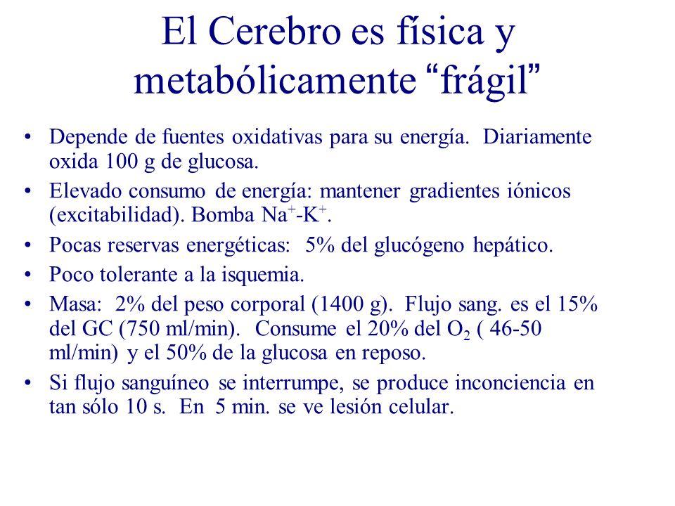 El Cerebro es física y metabólicamente frágil Depende de fuentes oxidativas para su energía. Diariamente oxida 100 g de glucosa. Elevado consumo de en