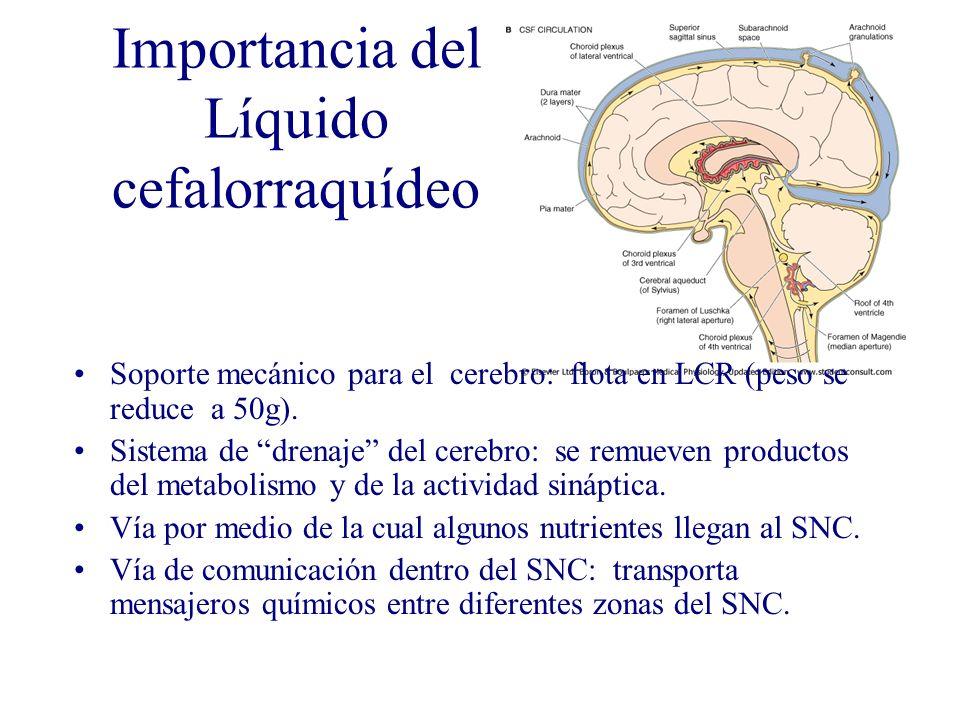 Importancia del Líquido cefalorraquídeo Soporte mecánico para el cerebro: flota en LCR (peso se reduce a 50g). Sistema de drenaje del cerebro: se remu