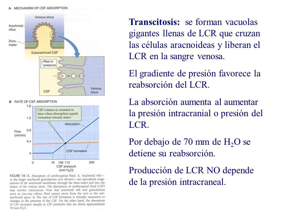 Transcitosis: se forman vacuolas gigantes llenas de LCR que cruzan las células aracnoideas y liberan el LCR en la sangre venosa. El gradiente de presi